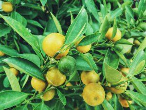 tomar aceite de oliva con limón